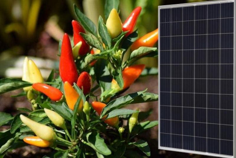 Острый перец повысил эффективность солнечных панелей