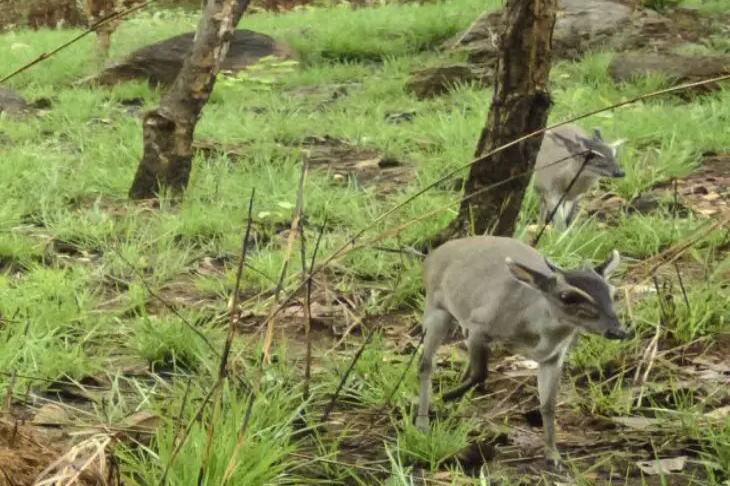 Опубликовано фото редкого животного, которое считали почти вымершим